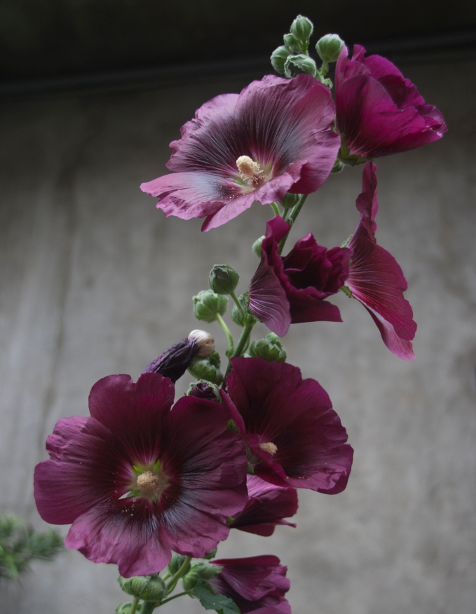 Dark Purple Hollyhocks