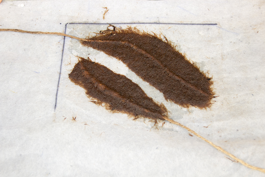 Eucalyptus Feathers