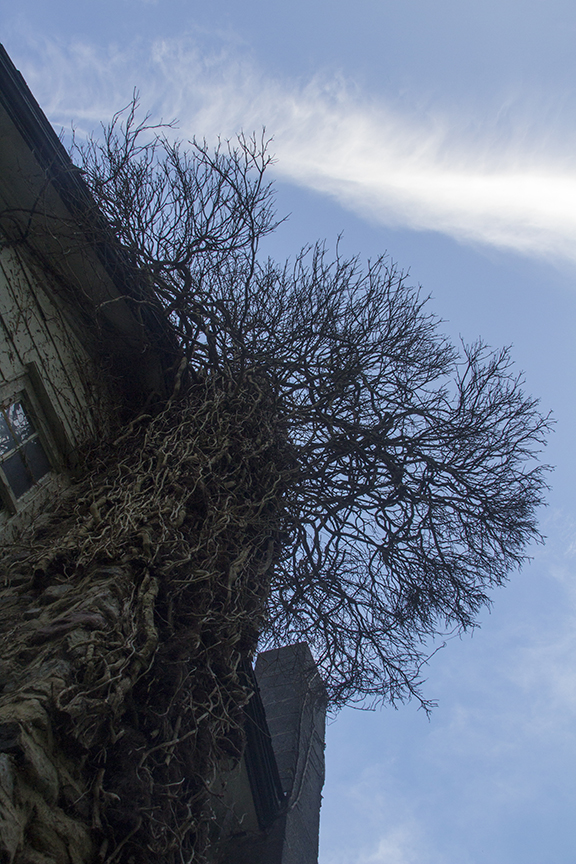 Poison Ivy Tree