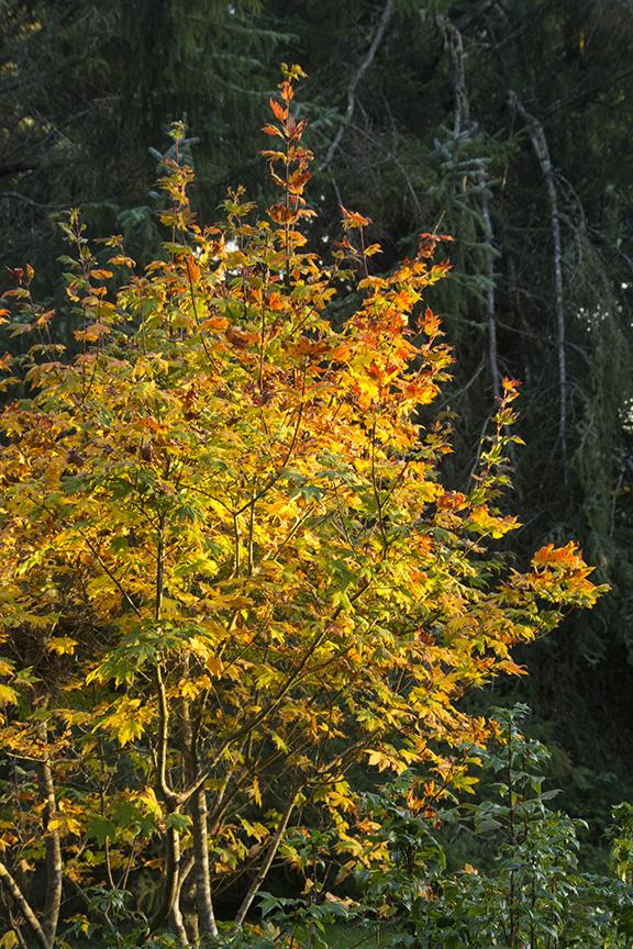 Sunset Light in a Autumn Tree