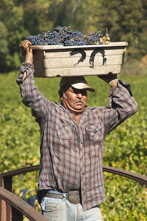 U.S.A. - Grape Harvest