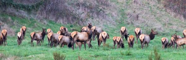 Elk mooning the photographer-9698