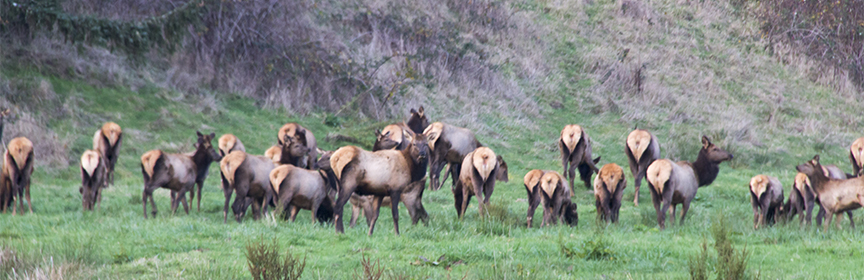 Elk mooning the photographer-9698