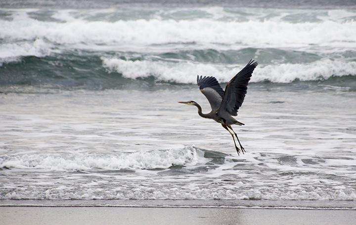 Neskowin Beach-Heron Flying
