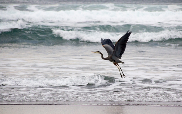 Neskowin Beach-Heron Flying