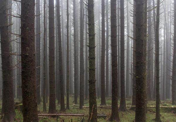 Sitka spruce grove-blog