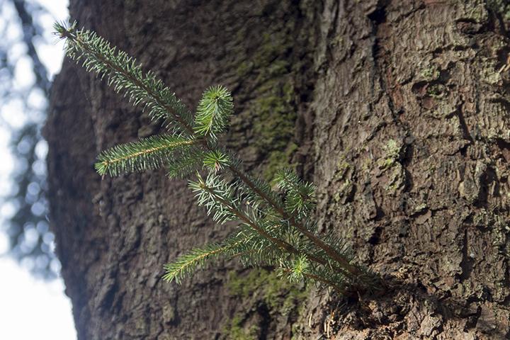 Sitka Spruce New Growth-1-1570