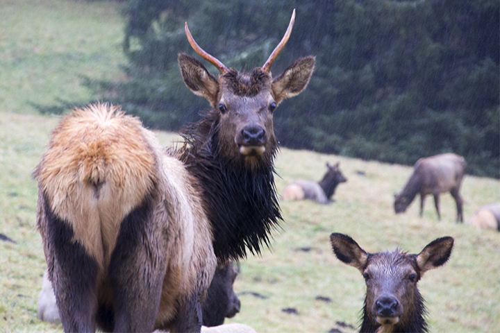 Elk looking sternly-1949