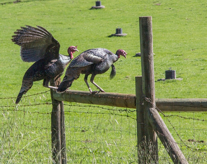 Turkeys jumping