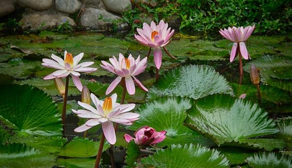 Lotus-hdr
