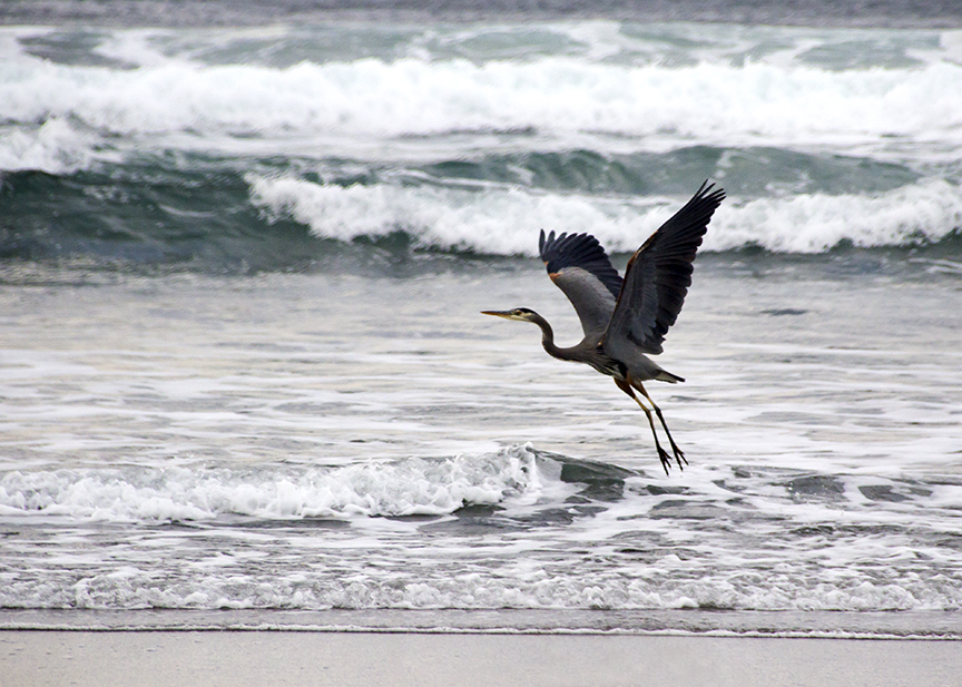 Blue Heron on Neskowin Beach, Oregon