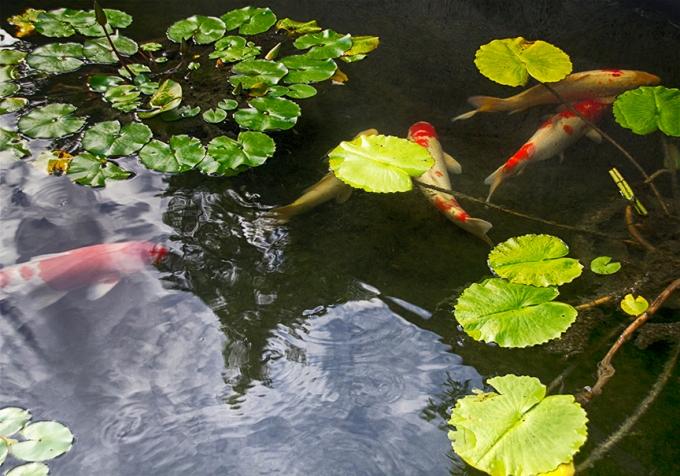 carp swimming1