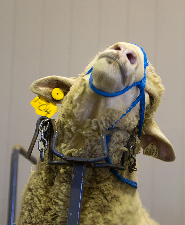 Sheep Being Prepared for Show at the California State Fair