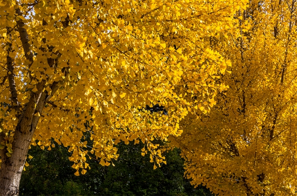 fall-leaves-in-trees-s