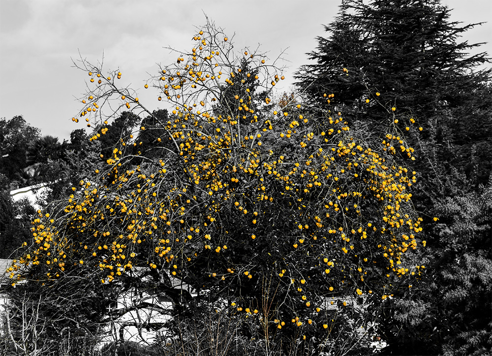 Yellowing_Persimmons