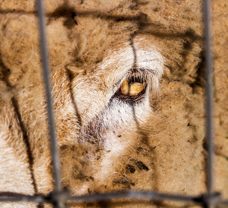 A sheep giving me the eye through a fence on Dry Creek Road, Healdsburg, CA., January 2015.