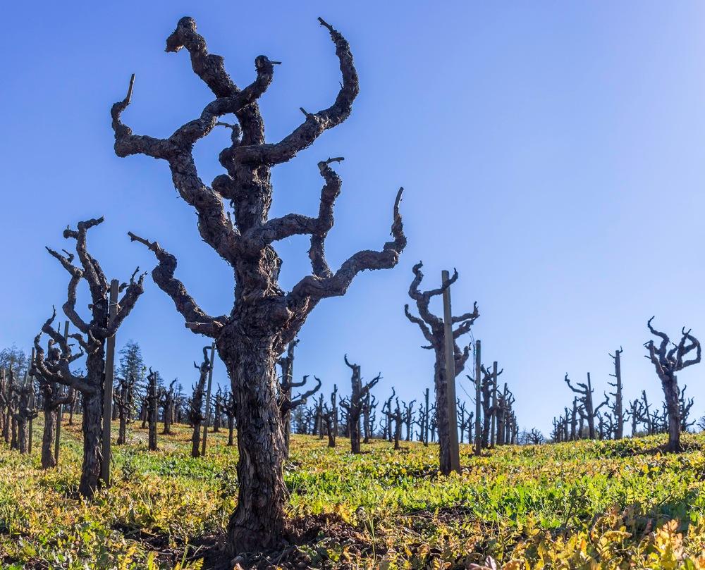 Vineyard along Dry Creek Rd, Healdsburg, CA, January 2015