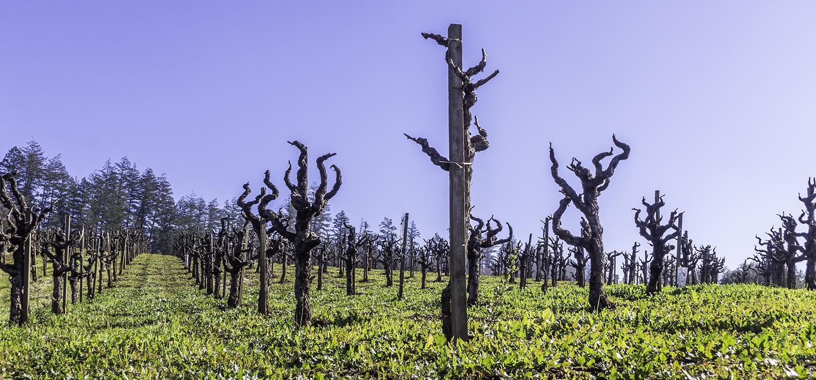 One of many vineyards along Dry Creek Road, in Healdsberg, CA, January 2015