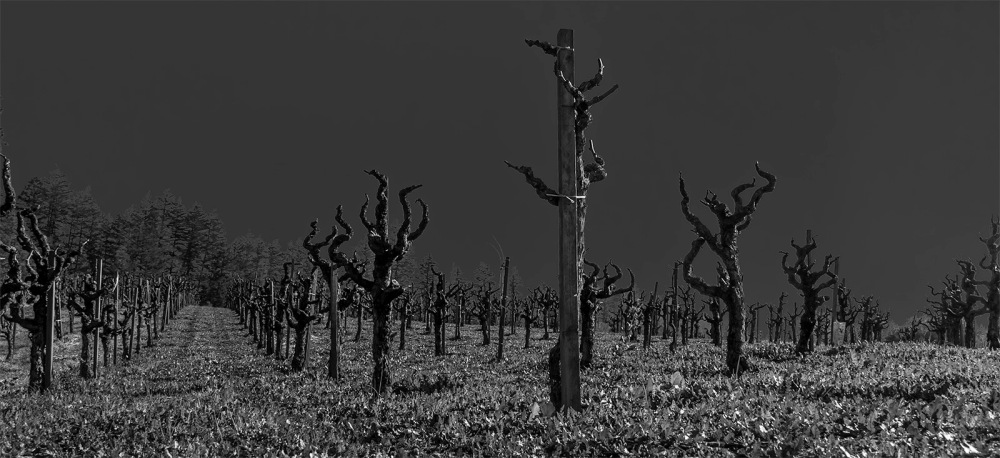 One of many vineyards along Dry Creek Road, in Healdsburg, CA, January 2015. This compares to my published image of the same picture but in color. https://allentimphotos2.wordpress.com/2015/01/26/a-dry-creek-vineyard/