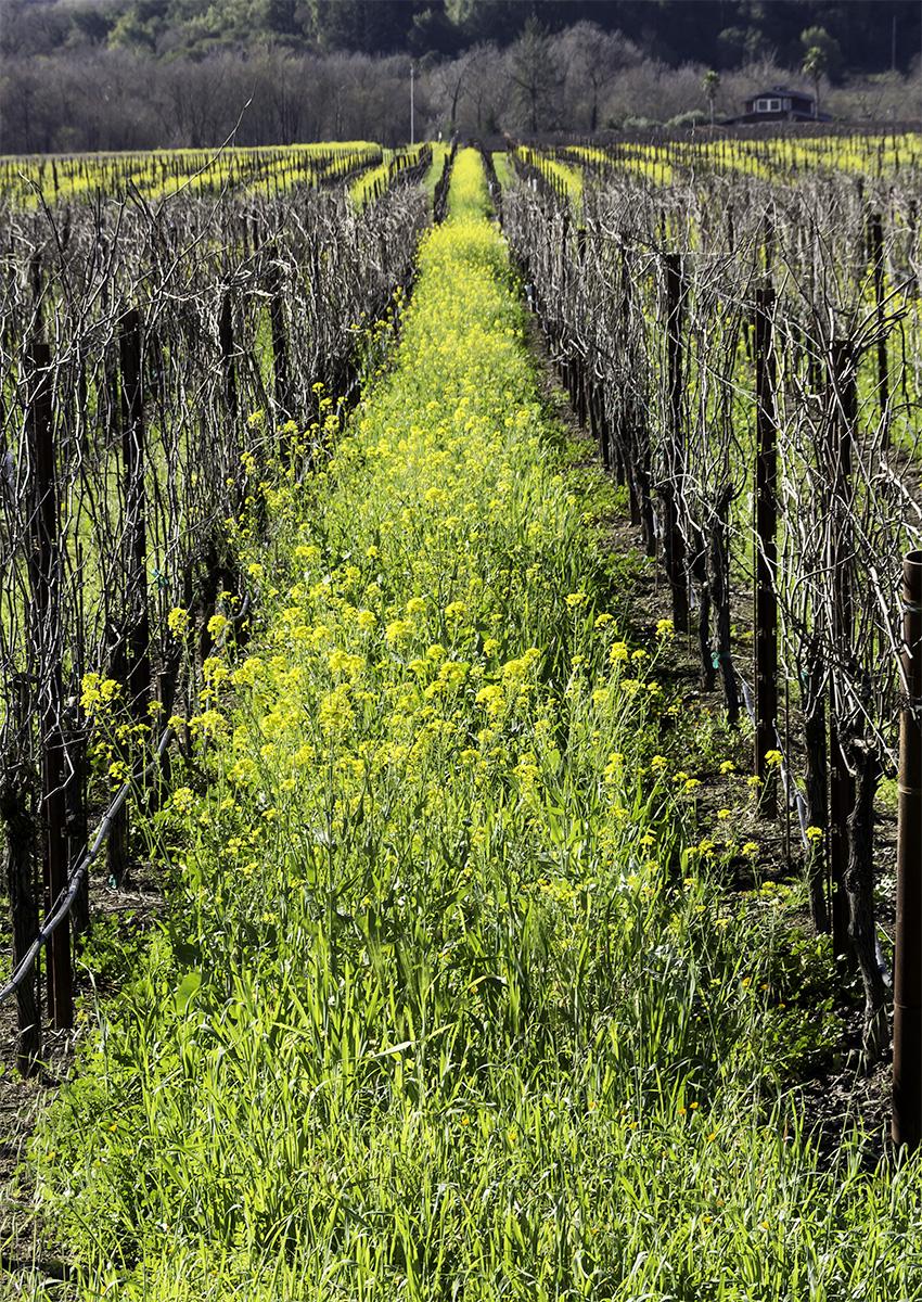 yellow in the vineyard-s1