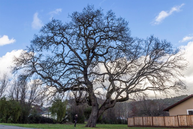 California Live Oak, Santa Rosa, CA February 2015