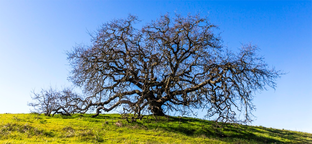 This is the color image that I used for the B&W published yesterday. https://allentimphotos2.wordpress.com/2015/02/03/california-live-oak/