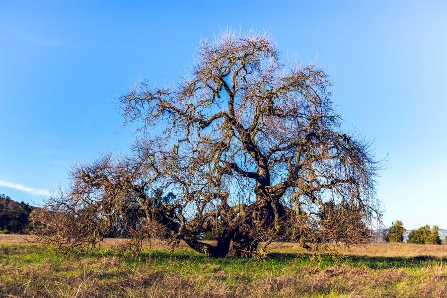 California Live Oak on the grounds of Olompila State Historic Park, Navato, CA, January 31, 2015
