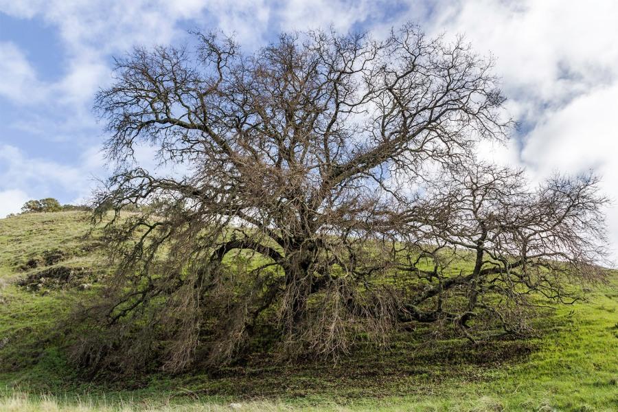 California Live Oak, Paridse Ridge Winery, Santa Rosa, CA, February 9, 2015