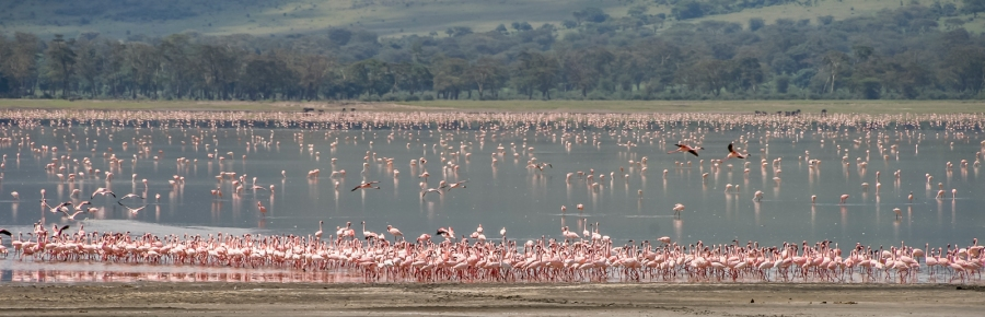 Lesser-Flamingos-(Phoenicopterus-minor)-in-the-Norongoro-Crater-Tanzania