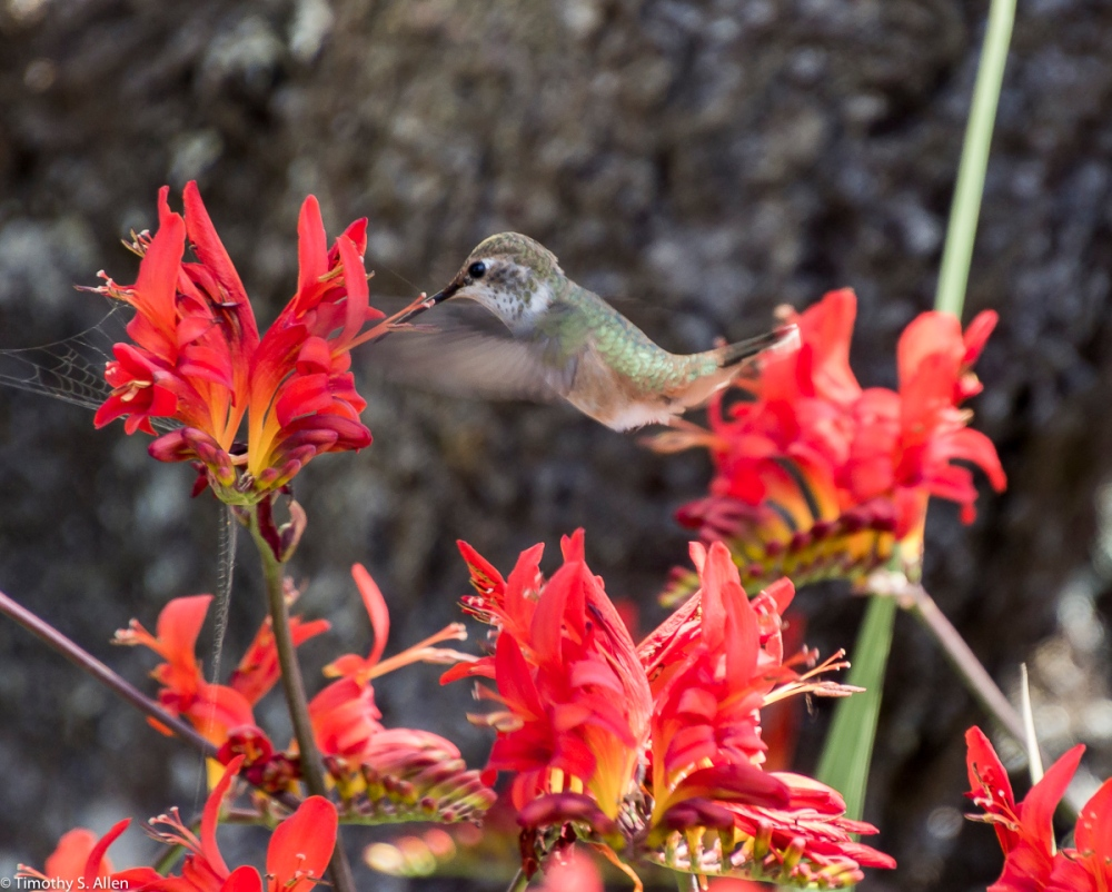 I don't usually take photos of flowers but these were so bright. I usually don't take pictures of birds but this humming bird seems to demand I pay attention. July 14, 2015 1/125 sec f 6.3 400 ISO using a Tamron 16-300 mm at 300mm