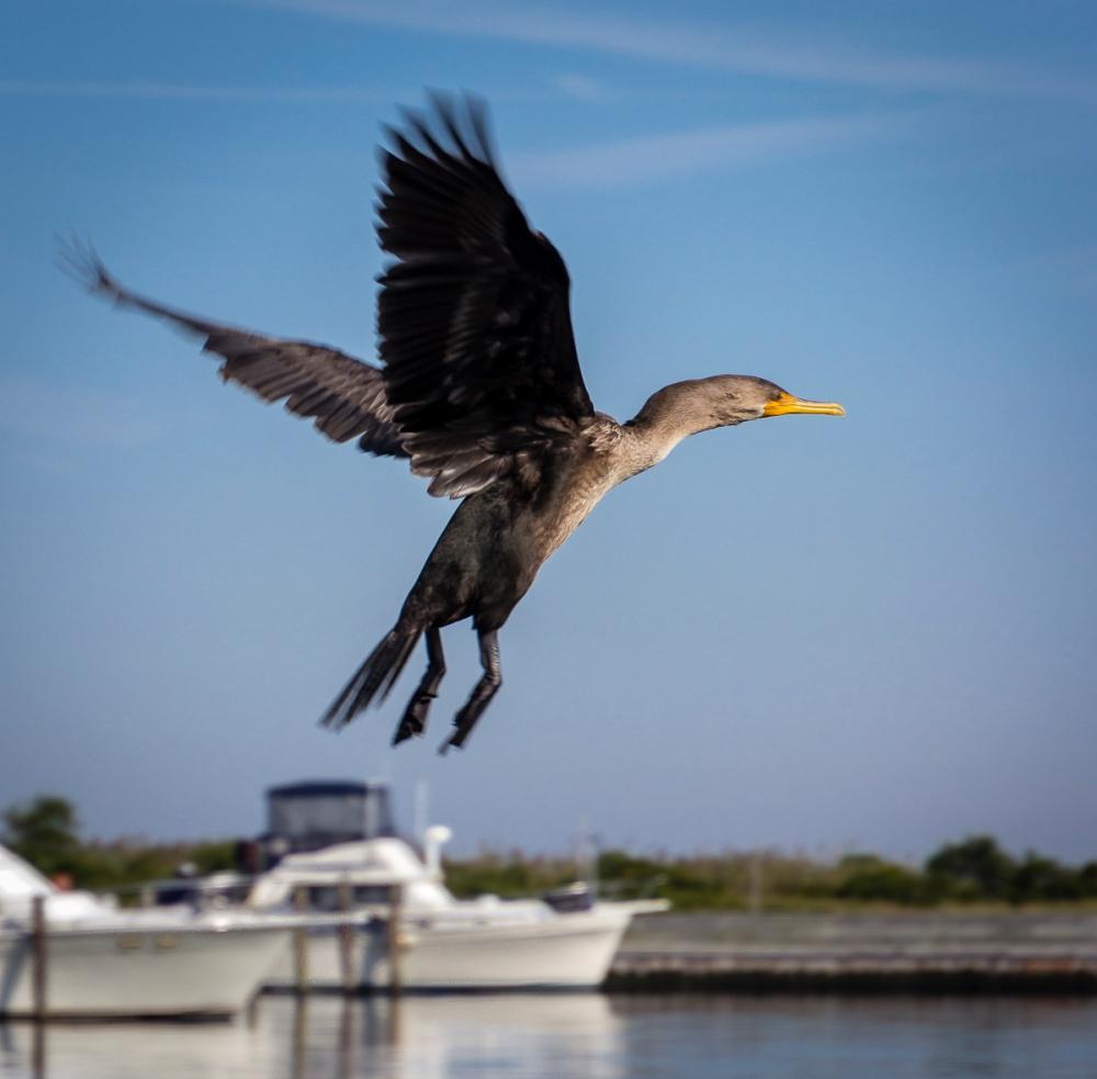 Cormorant Flying Marina, Watch Hill Visitors Center, Fire Island National Seashore, New York, U.S.A. September 17, 2015