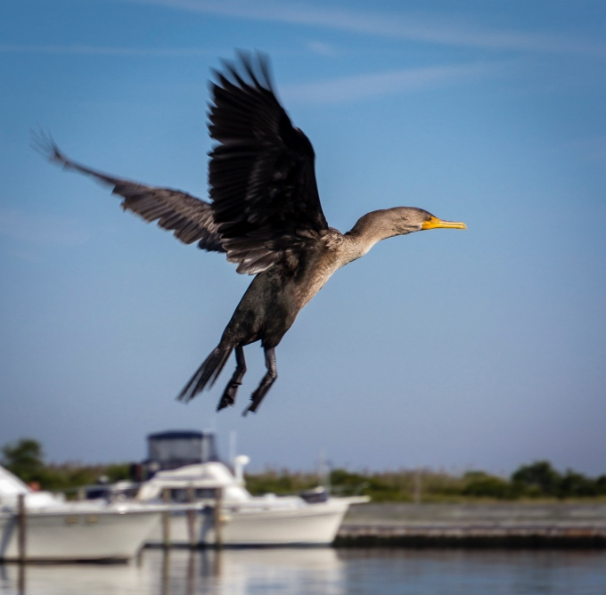 Cormorant Flying Marina, Watch Hill Visitors Center, Fire Island National Seashore, New York, U.S.A. September 17, 2015