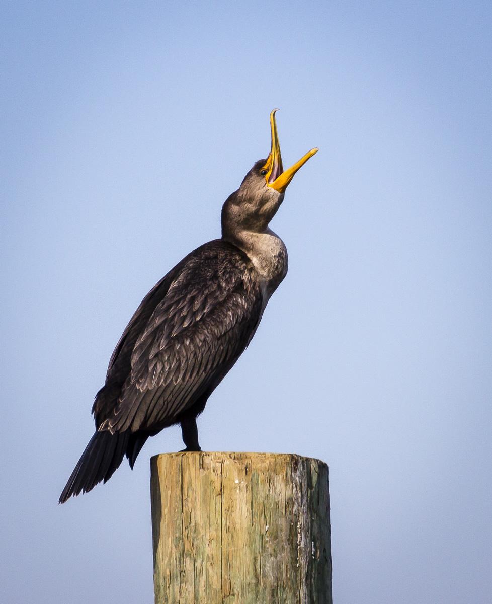 Cormorant Preening at Watch Hill Visitors Center, Fire Island National Seashore, NY, USA