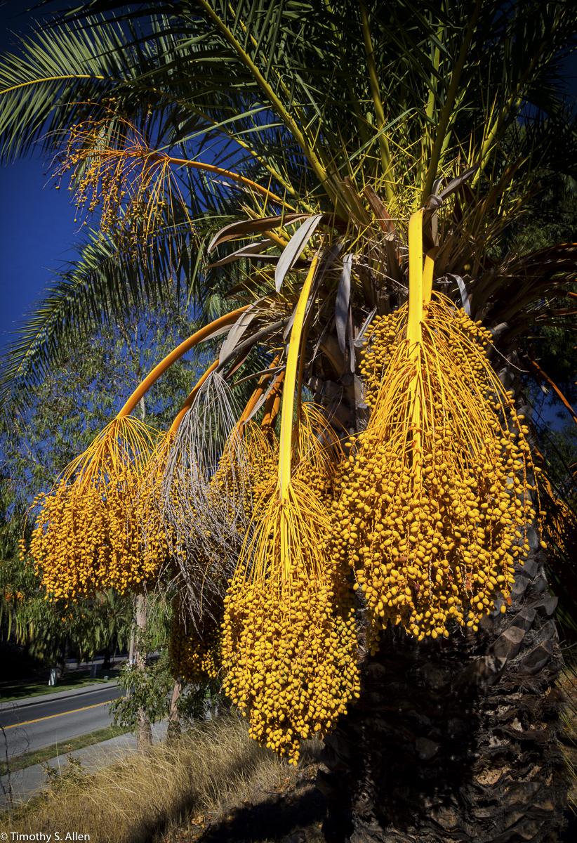 Pinto Palm Fruit found on the Coast Guard Living Area, Hamilton Field, Navoto, CA, USA October 13, 2015