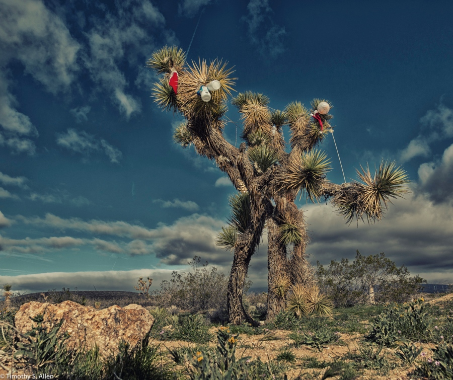 Joshua Tree, Antelope Valley, Los Angeles County, California, U.S.A. March 13, 2016