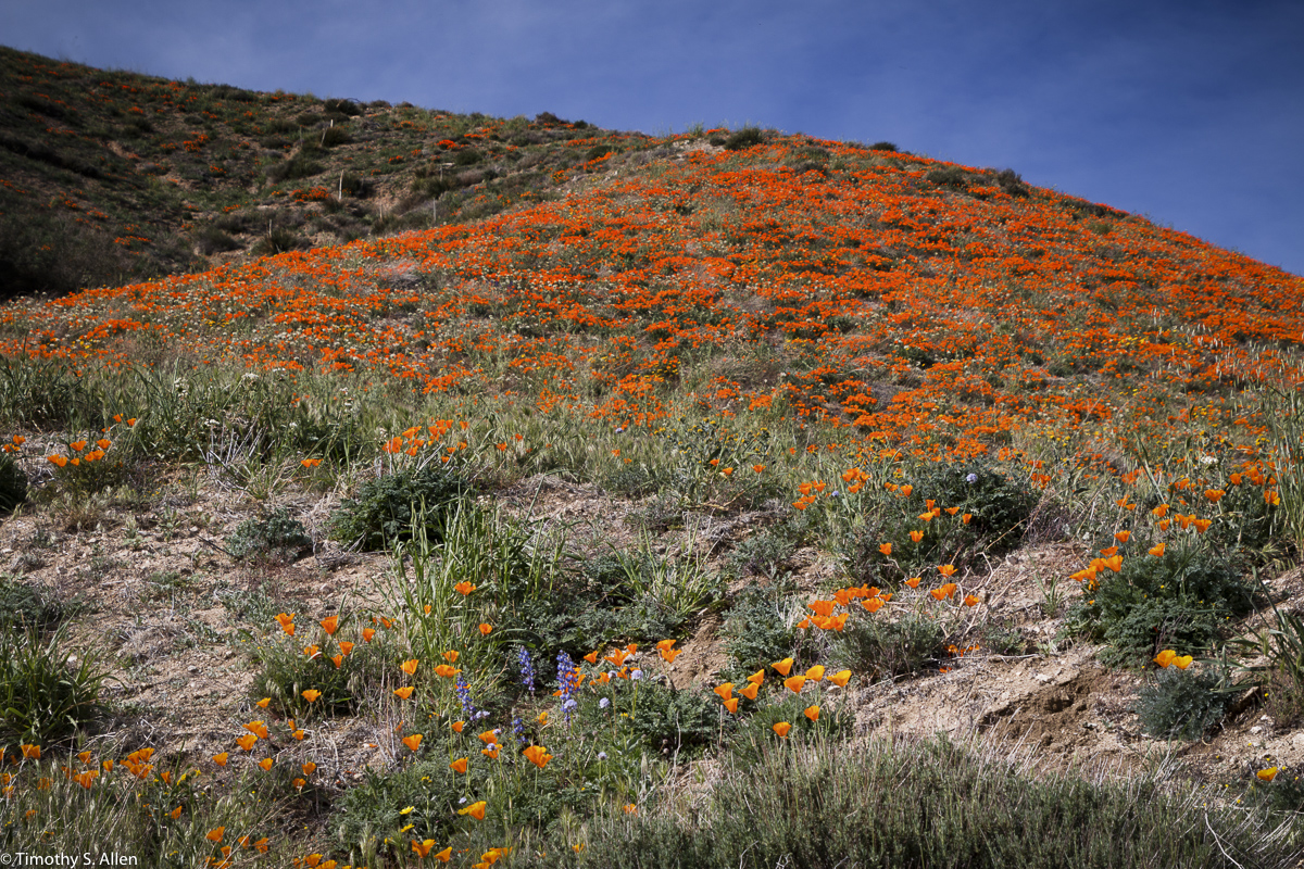 Wild Flowers in Antelope Valley, Los Angeles County, California, U.S.A. February 28, 2016