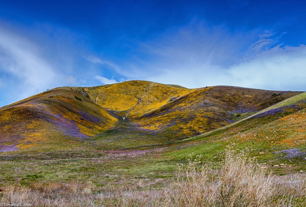 Wild Flowers on the East Side of Elizabeth Lake Road Antelope Valley, Los Angeles County, California, U.S.A. March 11, 2016