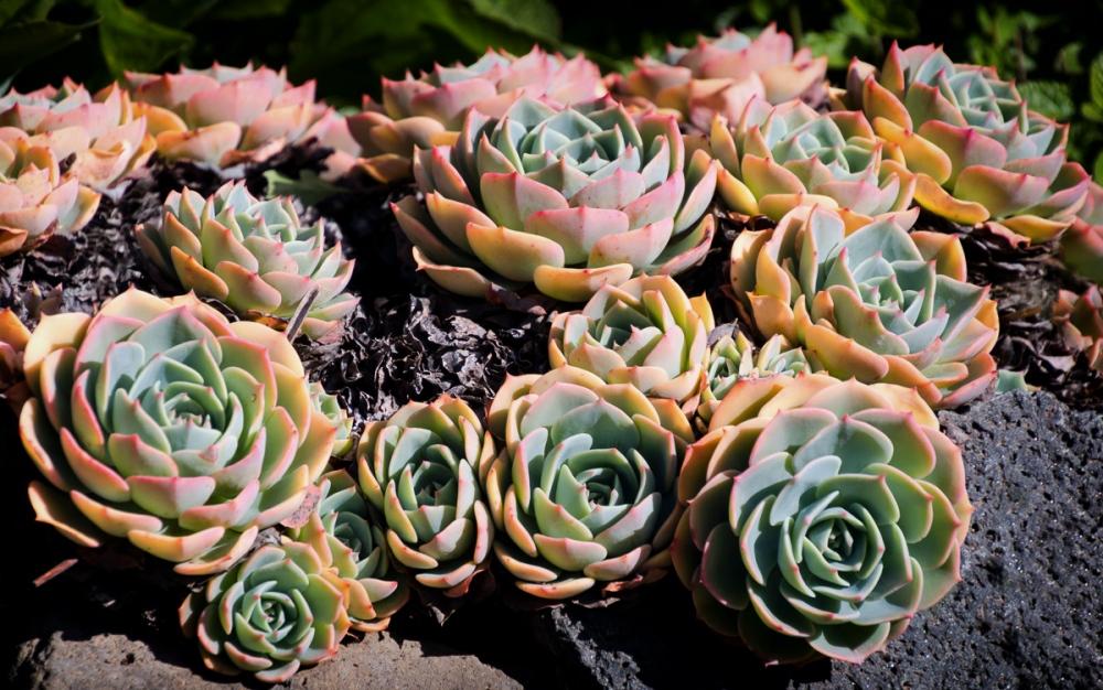 Succulents Petaluma, California, U.S.A. March 23, 2016