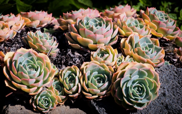 Succulents Petaluma, California, U.S.A. March 23, 2016