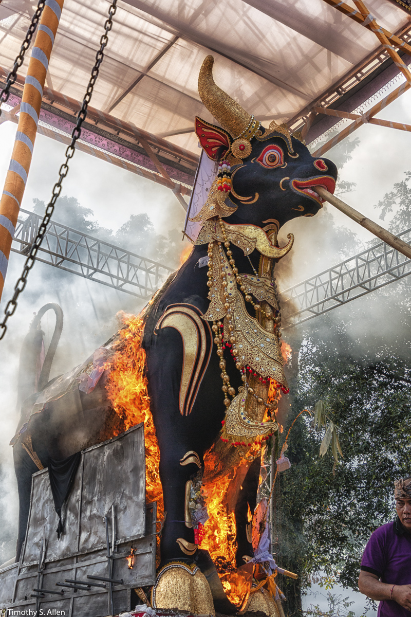 Cremation of the Ubud Bali Royal Family Member Cokorda Putra Widura. The sarcophagus bull with the body enclosed burning. Ubud, Bali - May 7, 2016