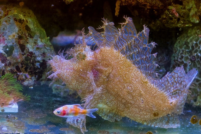 Rhinopias aphanes commonly known as the Scorpionfish - National Museum of Marine Science and Technology - Chauching Ocean Center No. 367, Beining Rd, Zhongzheng District, Keelung City, Taiwan - May 12, 2016