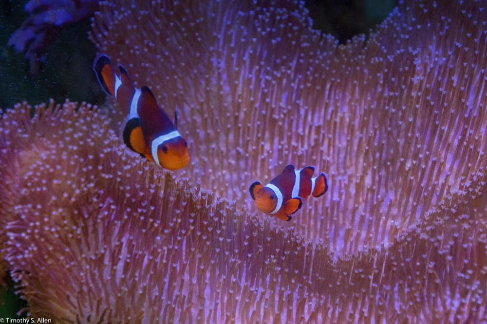 2 clown fish