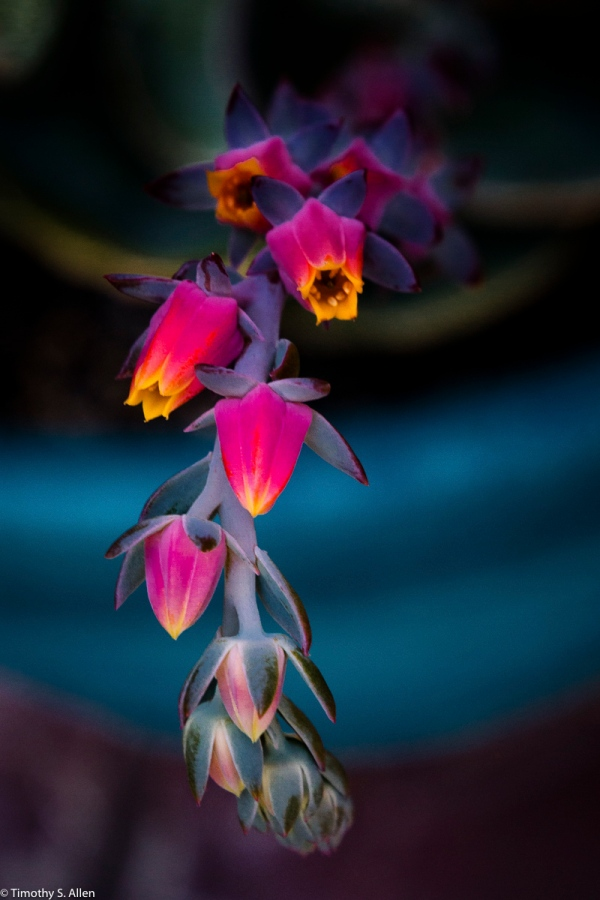 Succulent Flowers 4th Street, Santa Rosa, California, U.S.A. July 1, 2016