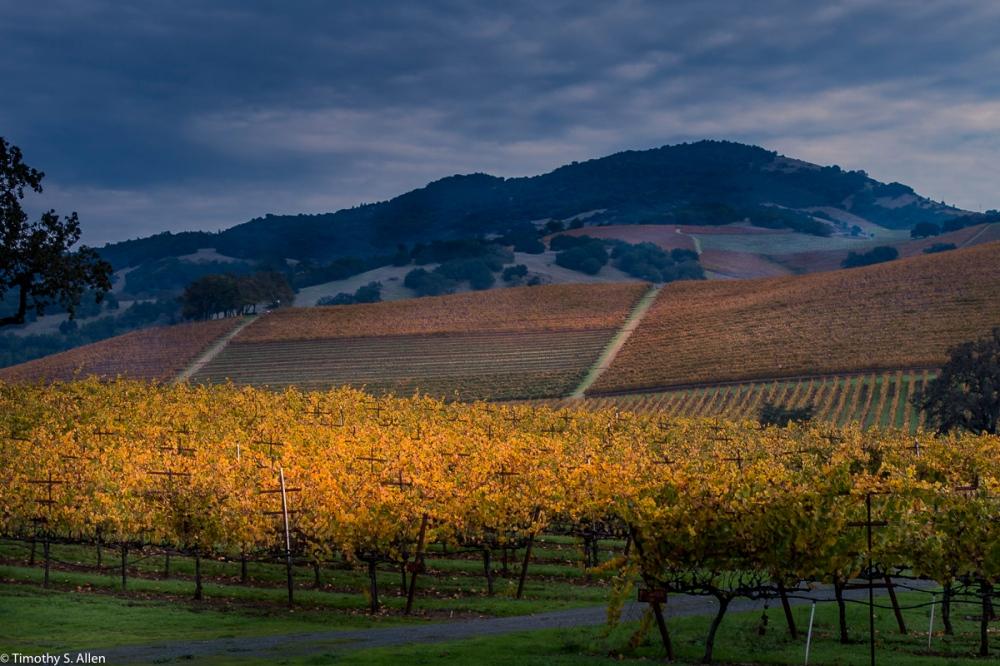 Kunde Family Winery Vineyard Sonoma Highway, Kenwood November 11, 2016