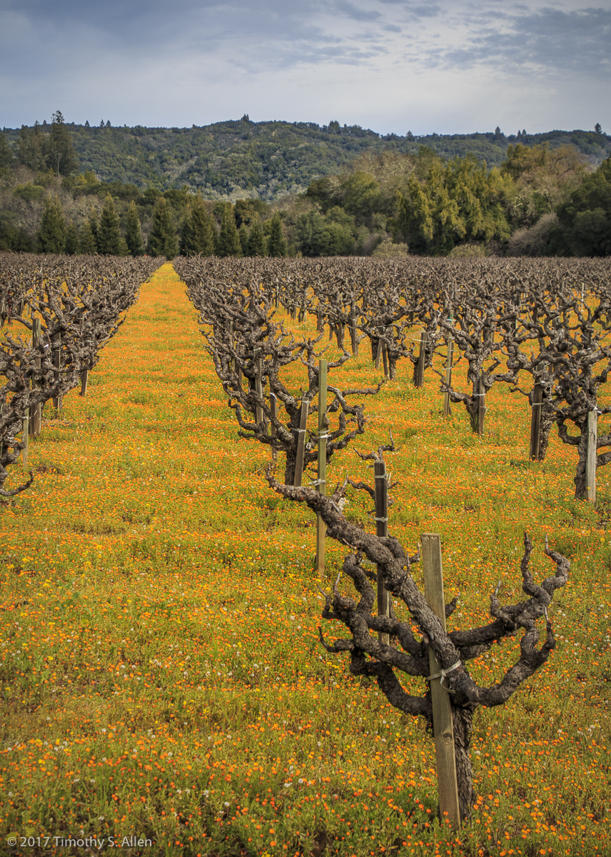 A Vineyard Along Dry Creek Road Healdsburg, CA, U.S.A. January 31, 2017