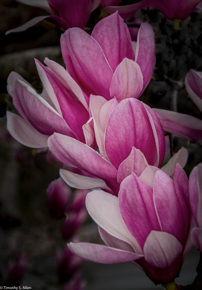 Tulip Tree Blossoms Sacramento, CA, U.S.A. February 11, 2017