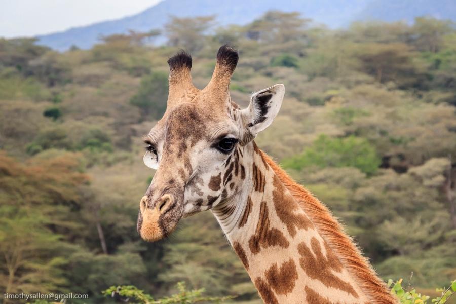 Young Masai Giraffe Arusha National Park, Tanzania January 27, 2008