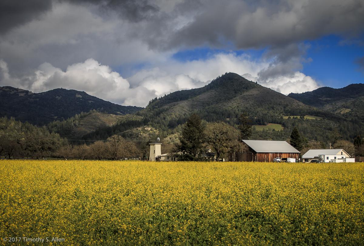 Yellow Mustard Field Hwy 12, Kenwood, CA, U.S.A. March 5, 2017