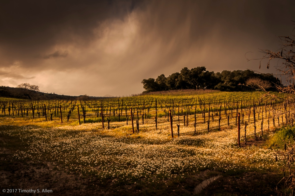 White Flowers Growing Among the Dormant Vines Sonoma Mountain Road, Santa Rosa, CA, U.S.A. March 5, 2017