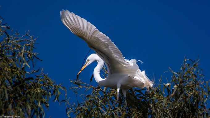 Great Egret Carrying a Stick for Making a Nest W 9th St., Santa Rosa, CA, U.S.A. March 22, 2017
